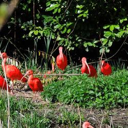 rood en groen is ........... boerenfatsoen bij de rode Ibis
