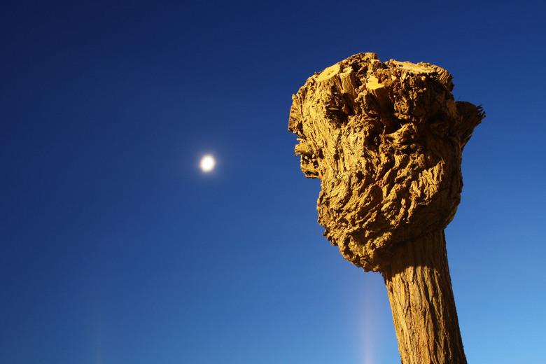 Knotwilg bij maanlicht