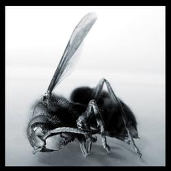 Een dode hoornaar