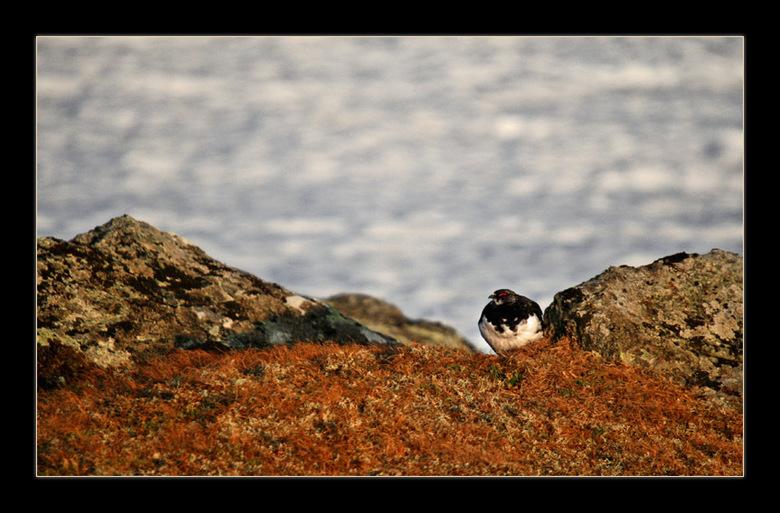 """Alpensneeuwhoen - Even weer terug in Noorwegen<img  src=""""/images/smileys/wilt.png""""/><br /> Deze Alpensneeuwhoen zat zomaar voor mijn lens. We reden o"""