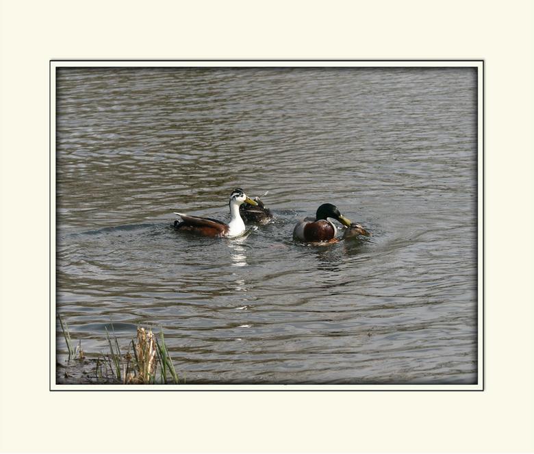 Al die mannen toch - Het is de natuur, maar ik vind het wel zielig voor een vrouwtjes eend. Zoals al die mannetje boven op haar zitten. En ze wordt ge