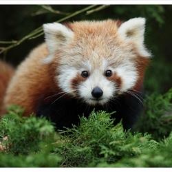 De kleine panda