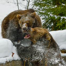 Spelende beren in het Beierse woud