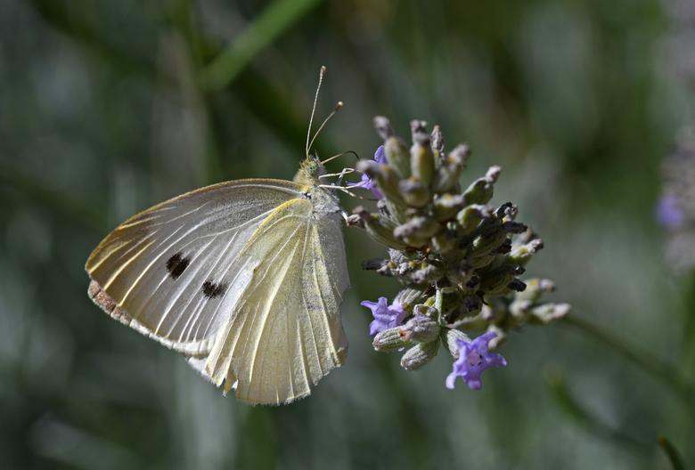 hyper actief - Witjes vind ik best lastig om te fotograferen. Het zijn rusteloze vlinders, die telkens van de ene bloem naar de andere vliegen. En de