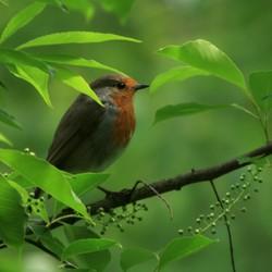 Robin....