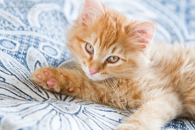 Thor, Norwegian Forest cat  - Dit is Thor, een zelf gefokte kitten uit mijn eigen poes en kater. Hij is voor het grootste gedeelte met de hand opgevoe