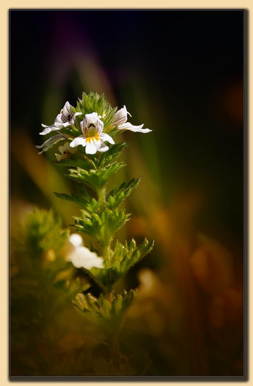 Nietig plantje - ogentroost - En ik houd het op (berg)ogentroost, Euphrasia montana. Maar een paar centimeter hoog en van dichtbij een orchidee-achtig