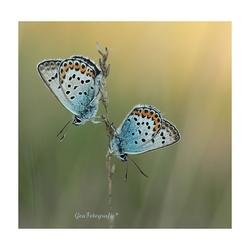 My little butterfly's*