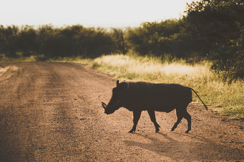 Zwijntje in Zuid-Afrika -