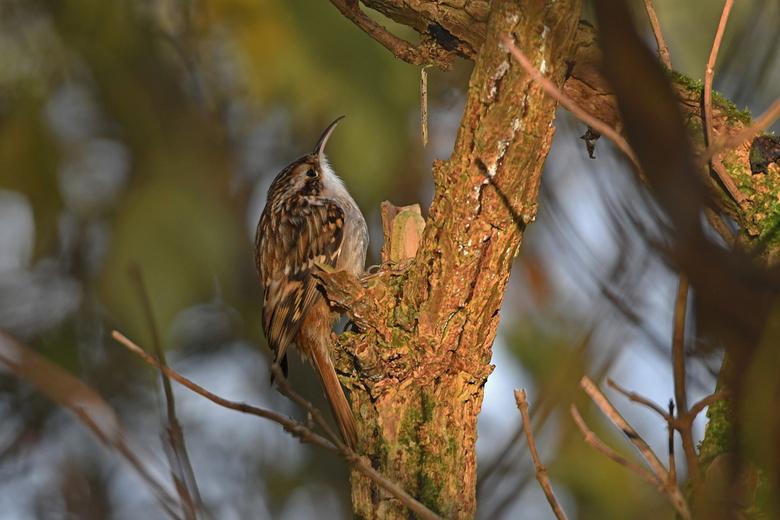 Boomkruipertje - Boomkruipers zijn vogeltjes die rap van de onderzijde van een boom naar boven kruipen, het liefst in de schaduw. Deze zag ik van de w
