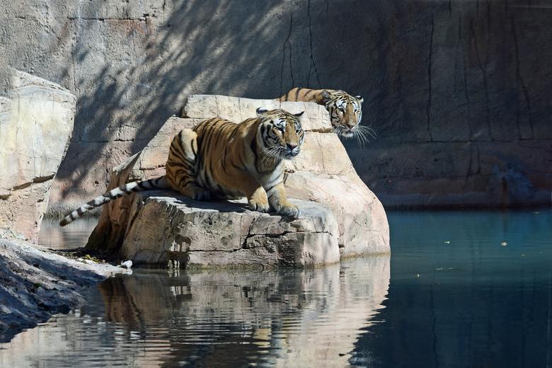 wat zien ik ?! - Er landt een wilde eend op de vijver van het tijgerverblijf. Dat blijft zeker niet onopgemerkt!! De eend dobbert rond alsof hem niets