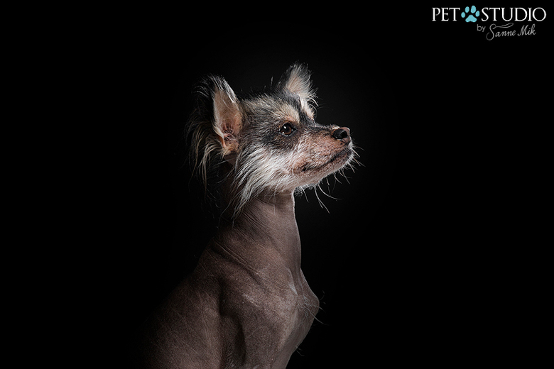 Chinese Crested -