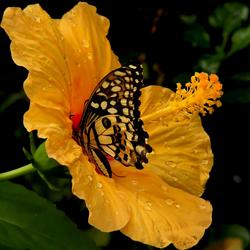 Vlinder op een Hibiscusbloem