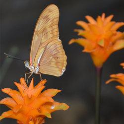 Dryas Iulia (Passiebloemvlinder)