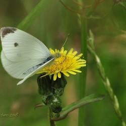 Vlinder is onderweg
