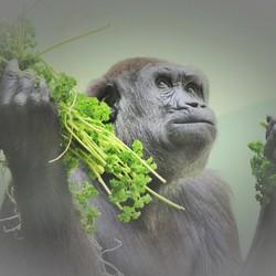 Gorilla (vriendin van Bokito) Diergaarde Blijdorp