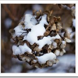 hortensia met sneeuw