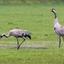 Kraanvogels(4)