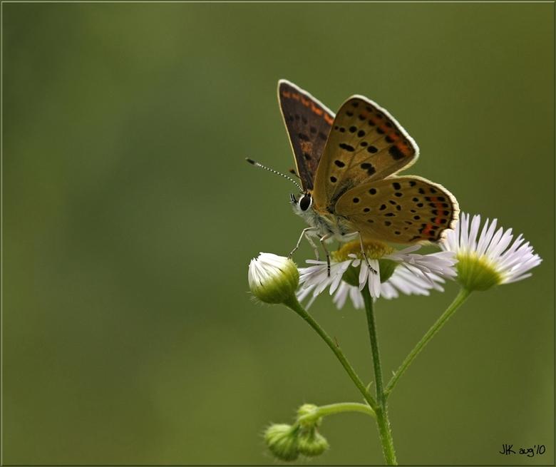Bruine Vuurvlinder - De bruine Vuurvlinder, dit is ook een opname uit Zwitserland, maar deze is natuurlijk ook gewoon in Nederland te vinden o.a. op d