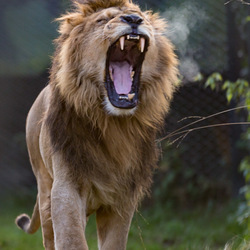 De leeuw die brult