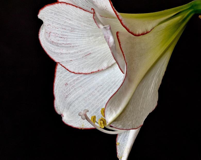 Amaryllis  (Wit met rode belijning)_DSC7120