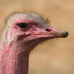 Struisvogel mannetje