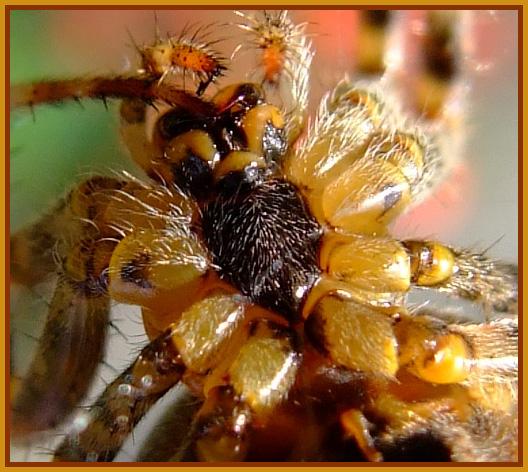 onderzijde spin