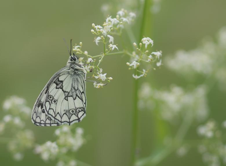 In the fields of nature - Door het koude en natte voorjaar maar weinig Dambordjes op mijn veldje gevonden dit jaar. Een laatste poging voordat we weer