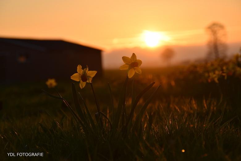Narcissen tijdens de zonsondergang -