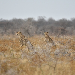 Cheetah's in Namibie