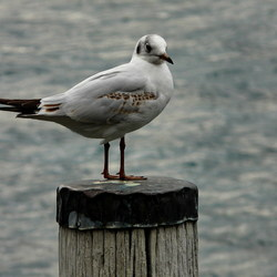 vogel serie 99. Zwitserse meeuw