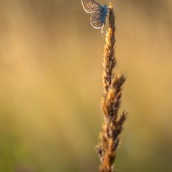 vlinderzon
