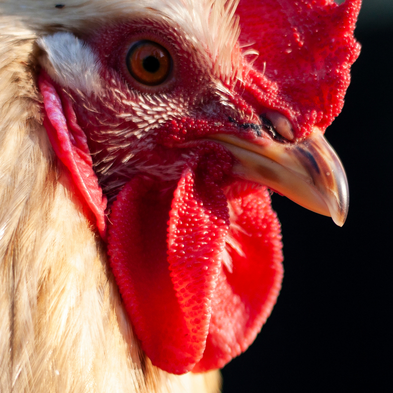 Red rooster -