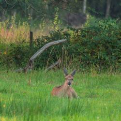 edelhertkalfje in het gras