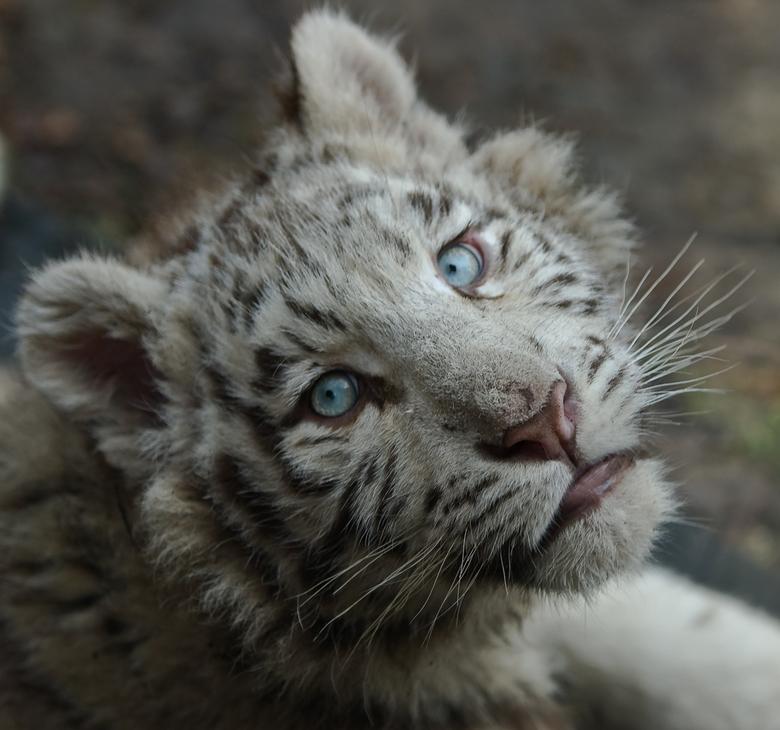 Wit tijgertje -