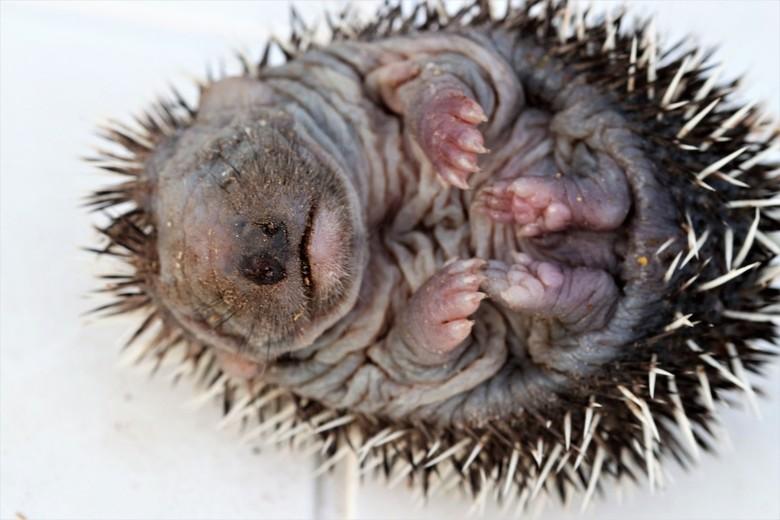 newborn egel. - baby egel   vlug een portretje en weer snel naar ma.<br /> 11-7-2019