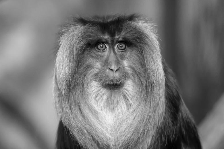 PORTRET - Wanderoe aap.