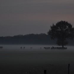 Koeien in de mist.