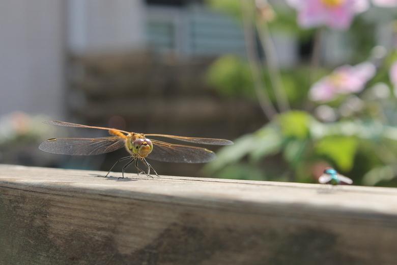 Libelle jager - Klaar om de vlieg op te peuzelen (die overigens wegkwam)<br />