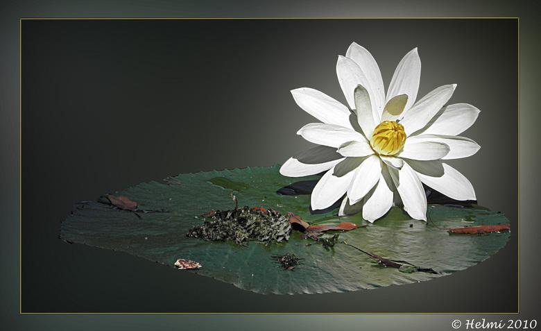 Waterlelie - Omdat iedereen de lelie toch het mooist vond een bewerking gemaakt. Lelie en blad geselecteerd en de omgeving gaussiaans vervaagd.. Ben b