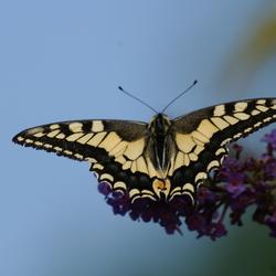 franse vlinder