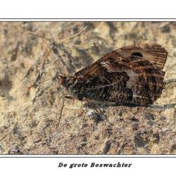 Toch Heidevlinder(de Grote Boswachter