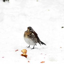 kramsvogel in sneeuw