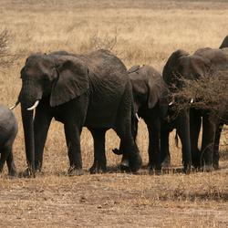 Kudde olifanten in Tarangire NP