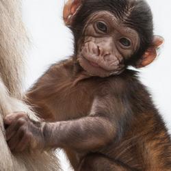 Baby Berberaapje