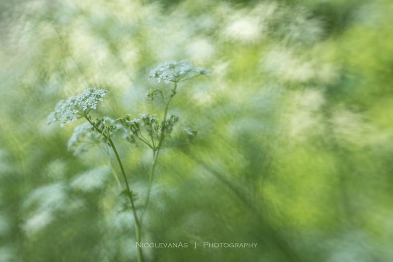 Fluitje. - Creatieve fotografie met de lensbaby.<br /> <br /> Het fluitenkruid bewoog licht door de wind. <br /> Gebruik gemaakt van de composer pr