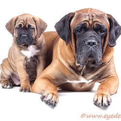 Vader & Dochter - Cane Corso
