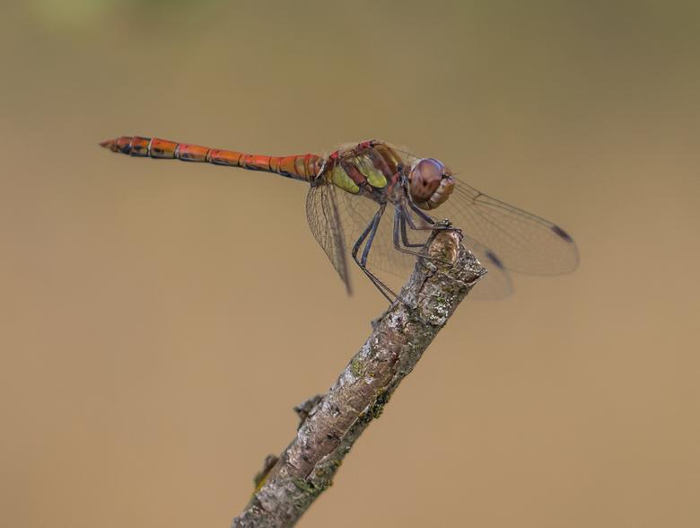 """Bruinrode heidelibel - In tegenstelling tot de vlinders , valt de """"libellen-oogst"""" tegen.  Zo af en toe kan ik er eentje meepikken zoals dez"""