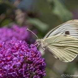 Ik vlinder jou