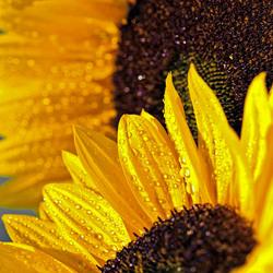 Zonnebloem in bloei (2)